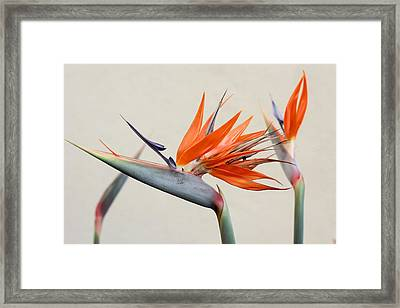 Bird Of Paradise Framed Print by Denice Breaux