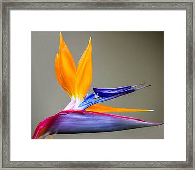 Bird Of Paradise Flower Framed Print by Photographic Art by Russel Ray Photos