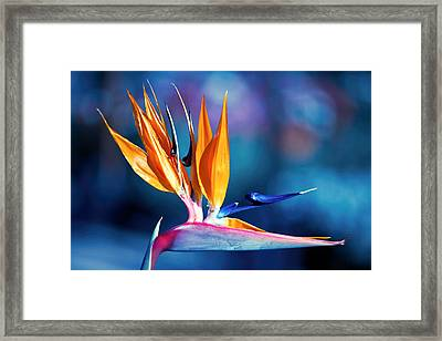 Framed Print featuring the photograph Bird Of Paradise by Gunter Nezhoda