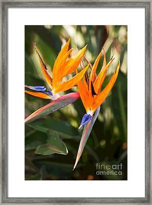 Bird Of Paradise In Flower Framed Print