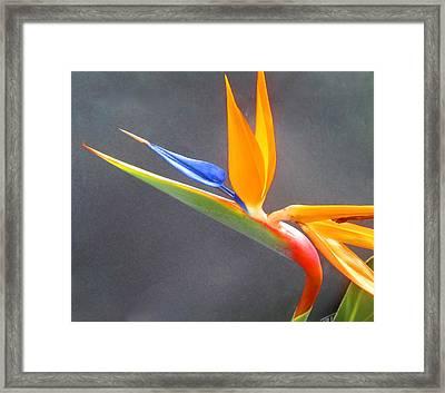 Bird Of Paradise Framed Print by Janet McGrath