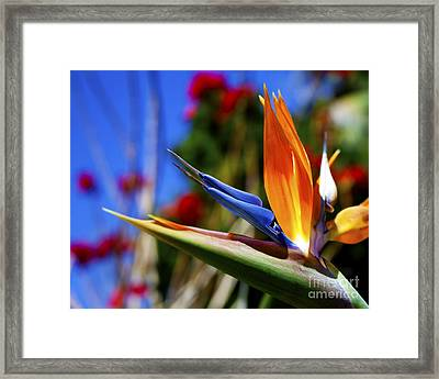 Framed Print featuring the photograph Bird Of Paradise Open For All To See by Jerry Cowart