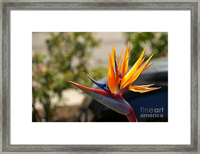 Bird Of Paradise Framed Print by Leo Sopicki