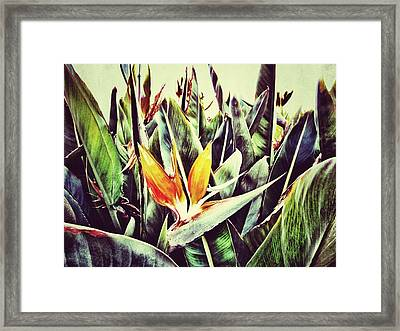 Bird Of Paradise Framed Print by Marianna Mills