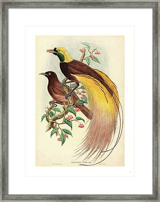 Bird Of Paradise Paradisea Apoda, Published 1875 1888 Framed Print