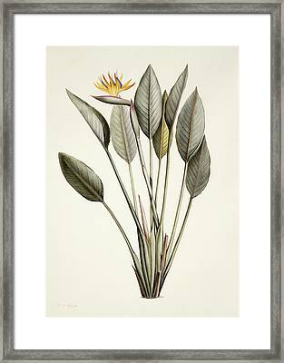 Bird Of Paradise Framed Print by Pierre Joseph Redoute