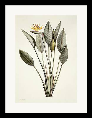 Strelitzia Paintings Framed Prints