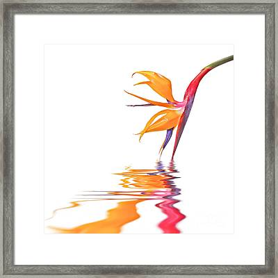 Bird Of Paradise Reflections Framed Print by Delphimages Photo Creations