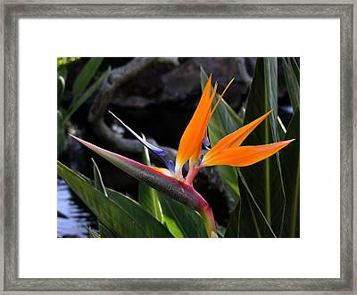 Framed Print featuring the photograph Bird Of Paradise by Robert Lozen