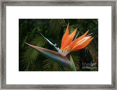 Bird Of Paradise - Strelitzea Reginae - Tropical Flowers Of Hawaii Framed Print