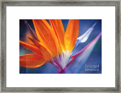 Bird Of Paradise - Strelitzia Reginae - Crane Flower Maui Hawaii Framed Print by Sharon Mau