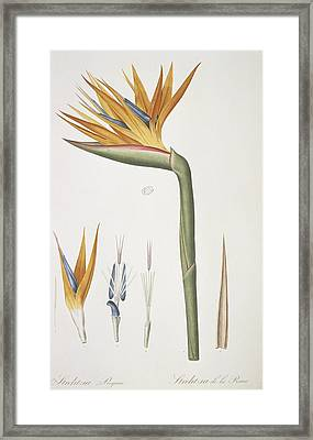 Bird-of-paradise (strelitzia Reginae) Framed Print by Science Photo Library