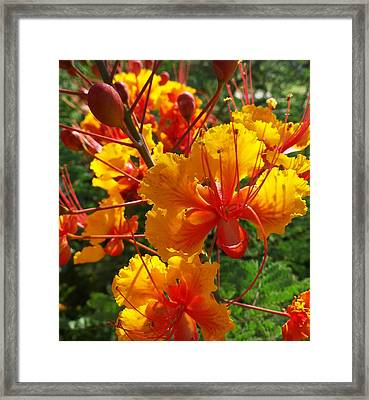 Framed Print featuring the photograph Bird Of Paradise by Suzanne Silvir