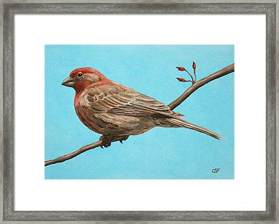 Bird Painting - House Finch Framed Print by Crista Forest