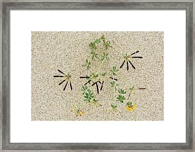 Bird's Foot Trefoil (lotus Cytisoides) Framed Print by Bob Gibbons