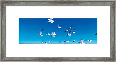 Birds In Flight Flagler Beach Fl Usa Framed Print by Panoramic Images