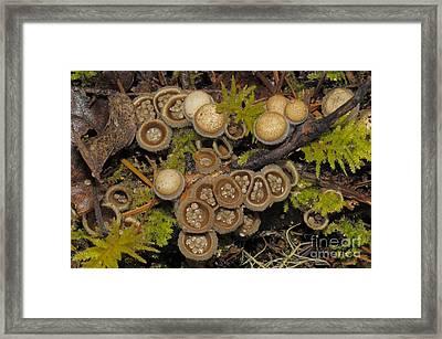 Birds Nest Fungus Framed Print by Robert and Jean Pollock