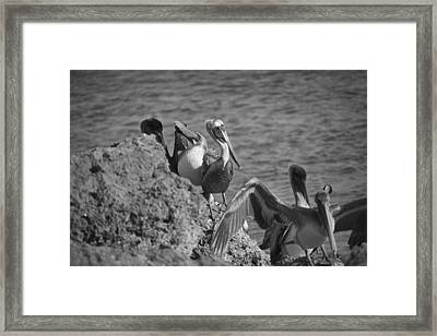 Birds Of A Feather Bw Framed Print by Joel P Black