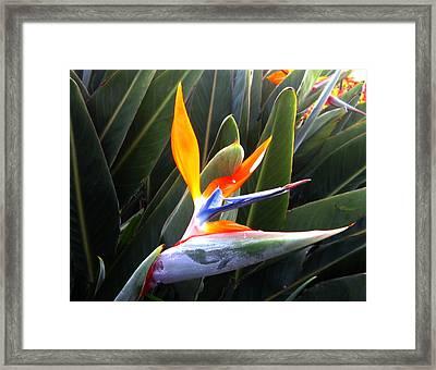 Birds Of Paradise Framed Print by Ange Sylvestri
