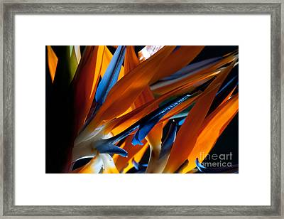 Birds Of Paradise Framed Print by Todd Edson