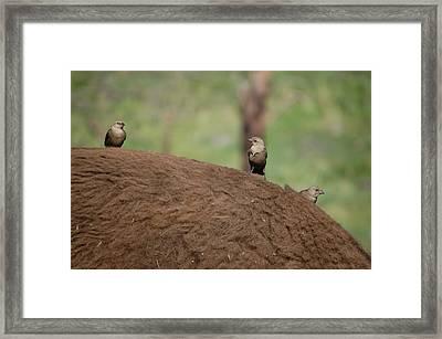 Birds On Back Of Bison Framed Print by William Howard