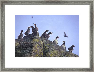 Birds On Rock Framed Print by F Hughes