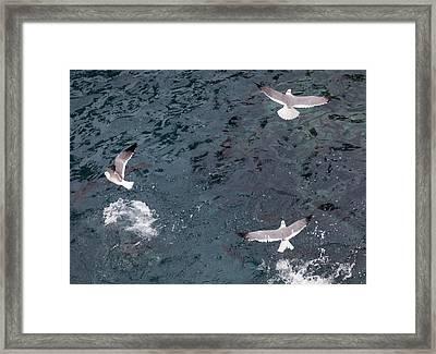 Birds Taking Advantage Of Feeding Time  Framed Print by Susan Stone