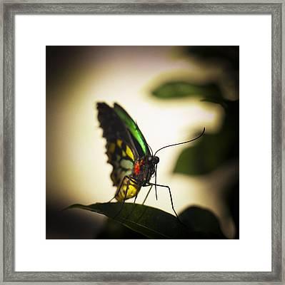 Birdwing Butterfly Framed Print by Bradley R Youngberg