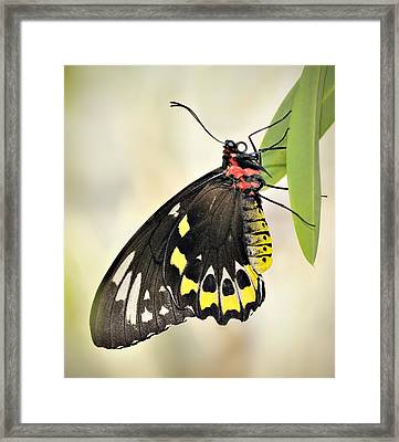 Birdwing Butterfly Framed Print