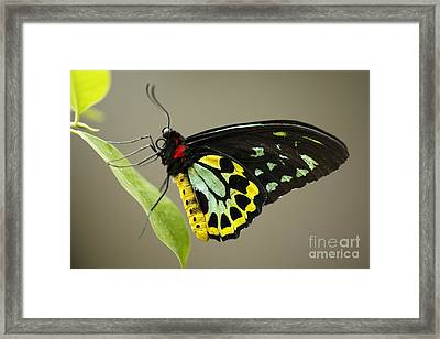 Birdwing Butterfly Framed Print by Craig Dingle