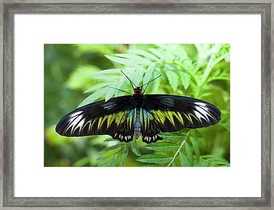 Birdwing Butterfly Framed Print
