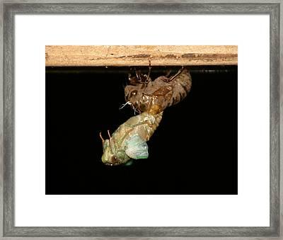 Birth Of A Cicada Framed Print by Marcie Sutton
