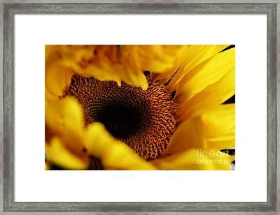Birth Of A Sunflower Framed Print by Stephanie Frey