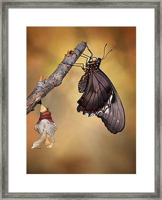 Birth Of A Swallowtail Framed Print