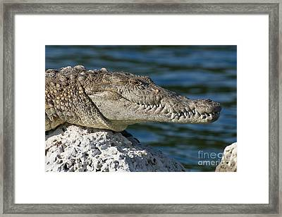 Biscayne National Park Florida American Crocodile Framed Print by Paul Fearn
