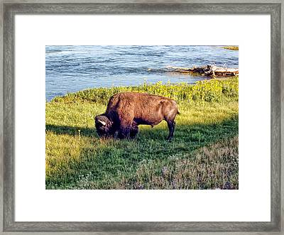 Framed Print featuring the photograph Bison 4 by Dawn Eshelman