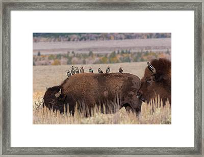 Bison And Buddies Framed Print