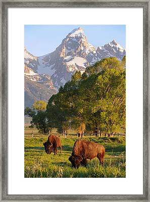 Bison And Grand Teton Framed Print by Aaron Spong