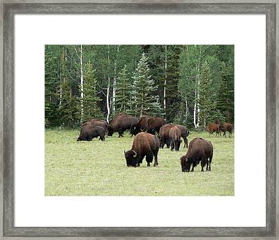 Bison At North Rim Framed Print