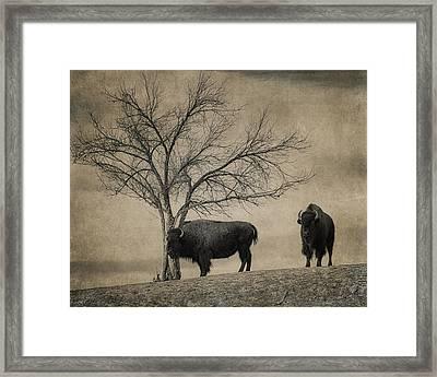 Bison Beauties Framed Print