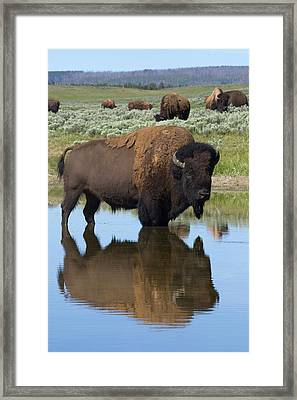 Bison Bull Reflecting Framed Print