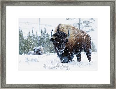 Bison Bulls, Winter Landscape Framed Print