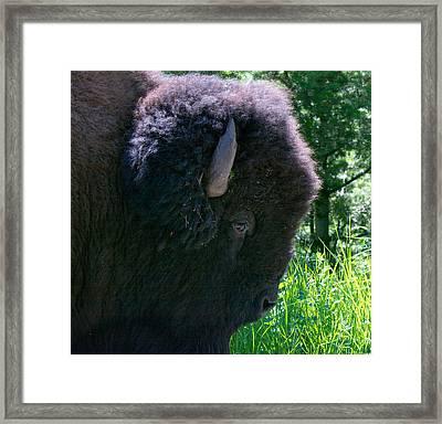 Bison Close Up Framed Print