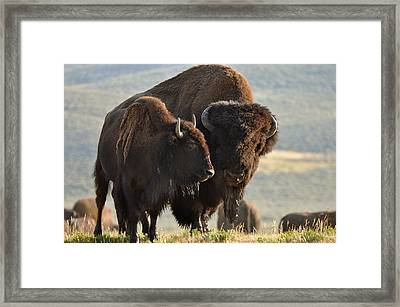 Bison Friends Framed Print by Bruce Gourley
