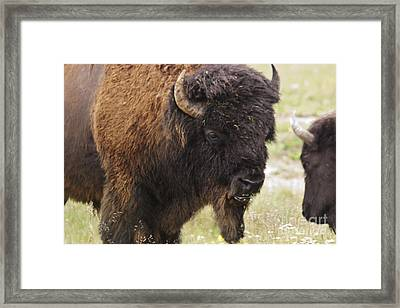 Framed Print featuring the photograph Bison From Yellowstone by Belinda Greb