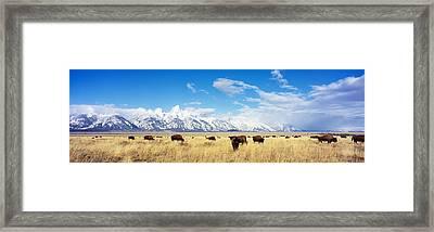 Bison Herd, Grand Teton National Park Framed Print