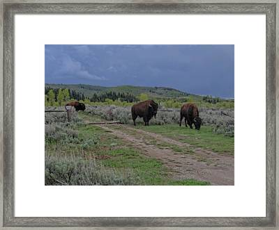 Bison Herd In The Tetons Framed Print by Dan Sproul