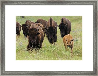 Bison Herd With Calf Framed Print