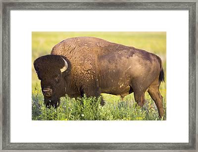 Bison In Grasslands National Framed Print by Robert Postma