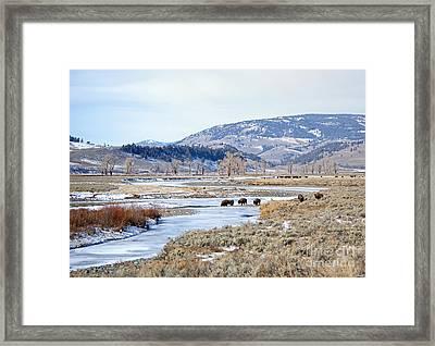 Bison In Lamar Valley Framed Print